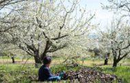 Dos rutas para hacer en familia entre los cerezos en flor de Corullón