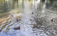 Por qué no es bueno dar de comer a los patos de los parques
